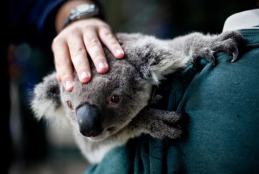 Koala, Cohunu Wildlife Park