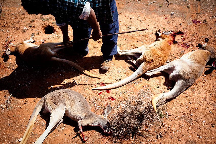 Kangaroo Hunting near Mt. Margaret, Western Australia