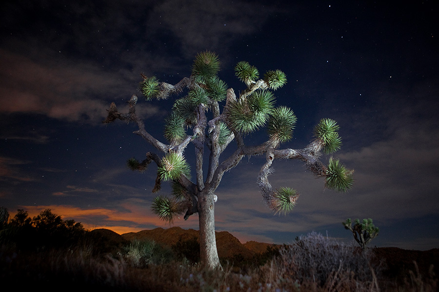 Joshua Tree in Joshua Tree National Park