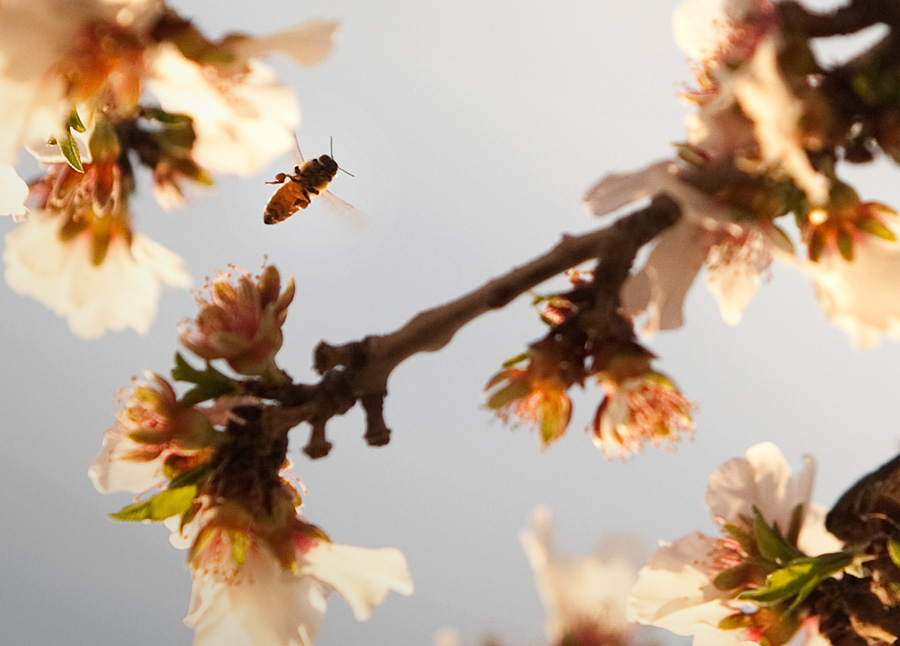 honeybee on almond tree