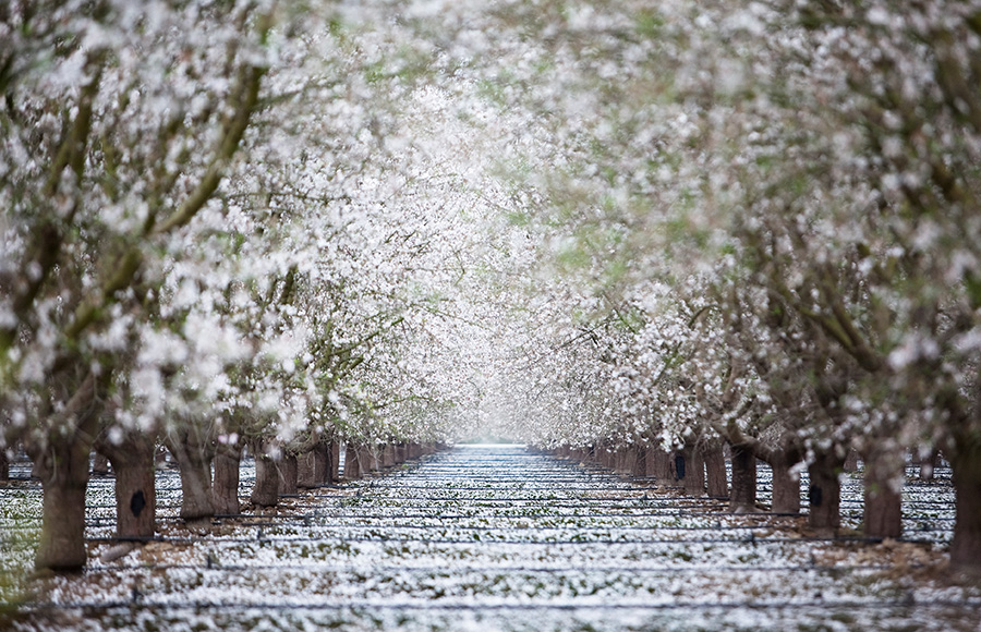 Almond orchard in bloom in bakersfield