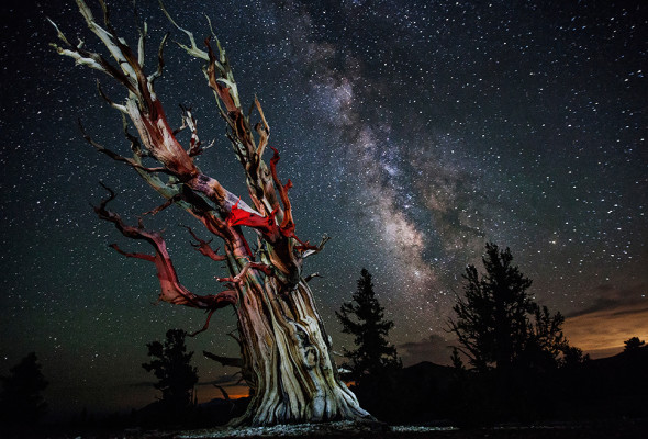 Stars and Milky Way over the Ancient Bristlecone Pine Forest